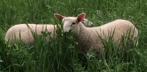 North Face Farm: Sheep